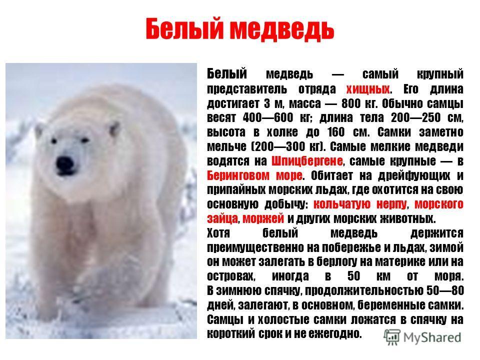 Белый медведь Белый медведь самый крупный представитель отряда хищных. Его длина достигает 3 м, масса 800 кг. Обычно самцы весят 400600 кг; длина тела 200250 см, высота в холке до 160 см. Самки заметно мельче (200300 кг). Самые мелкие медведи водятся