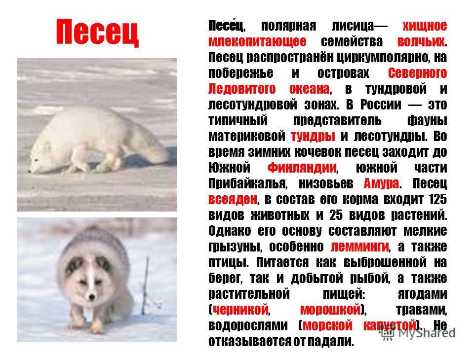 Песец Песец, полярная лисица хищное млекопитающее семейства волчьих. Песец распространён циркумполярно, на побережье и островах Северного Ледовитого океана, в тундровой и лесотундровой зонах. В России это типичный представитель фауны материковой тунд