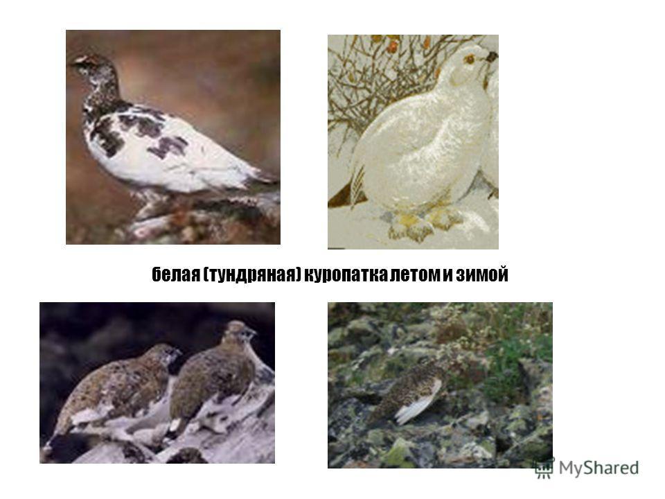 белая (тундряная) куропатка летом и зимой