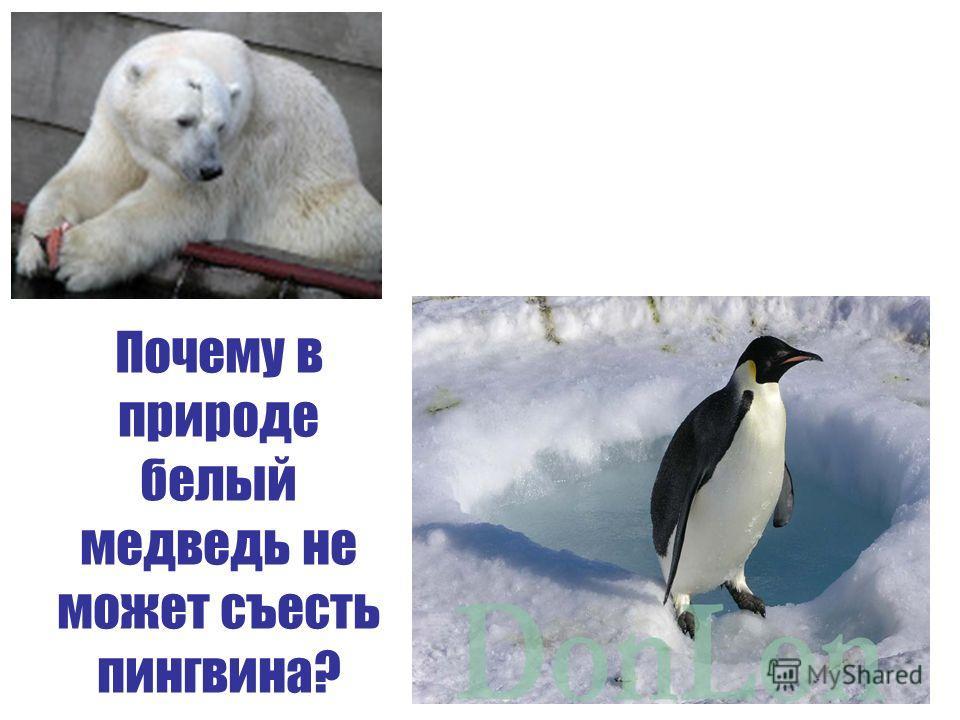 Почему в природе белый медведь не может съесть пингвина?