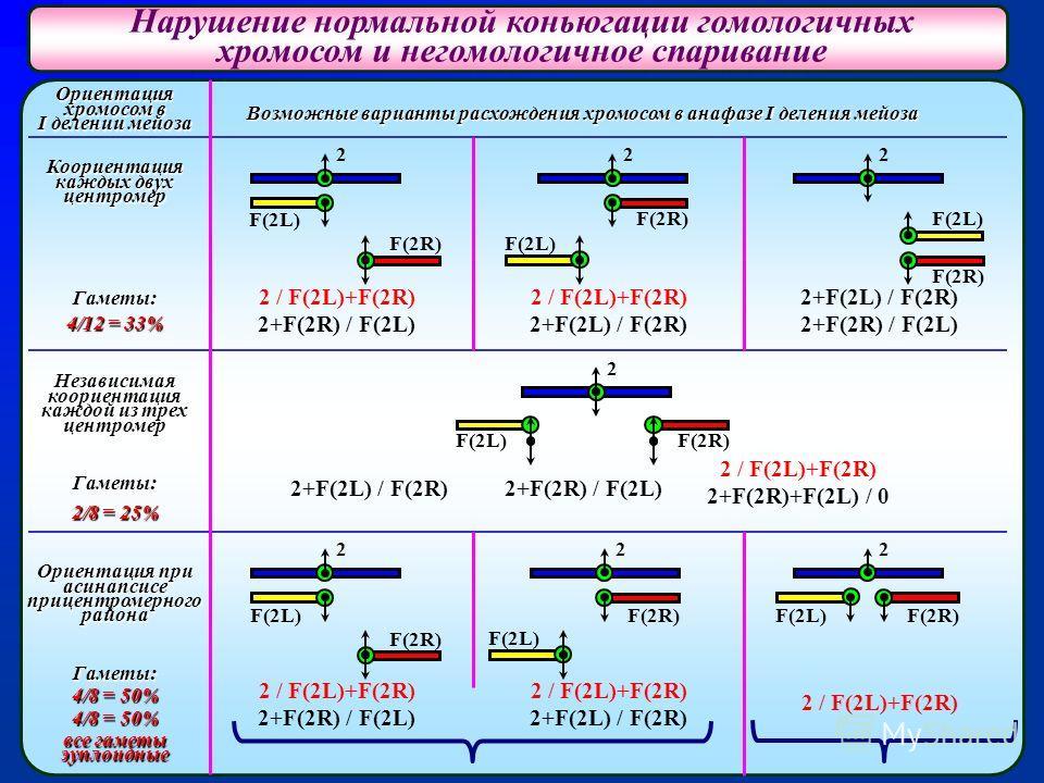 Нарушение нормальной коньюгации гомологичных хромосом и негомологичное спаривание Ориентация хромосом в I делении мейоза Коориентация каждых двух центромер Гаметы: 4/12 = 33% Независимая коориентация каждой из трех центромер Гаметы: 2/8 = 25% Ориента