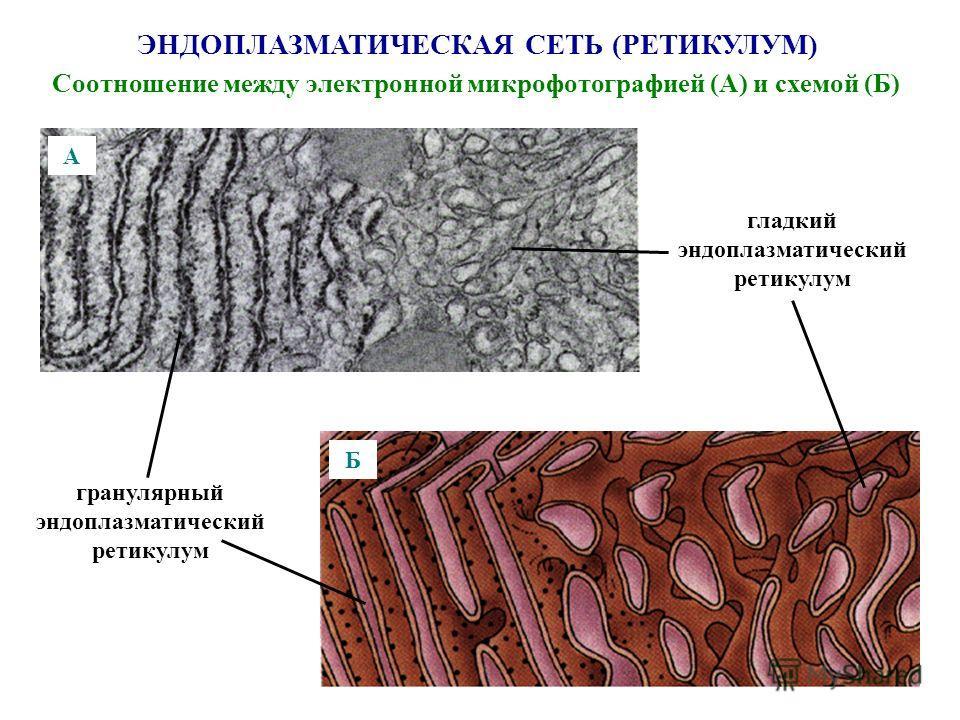 ЭНДОПЛАЗМАТИЧЕСКАЯ СЕТЬ (РЕТИКУЛУМ) Соотношение между электронной микрофотографией (А) и схемой (Б) гранулярный эндоплазматический ретикулум гладкий эндоплазматический ретикулум А Б