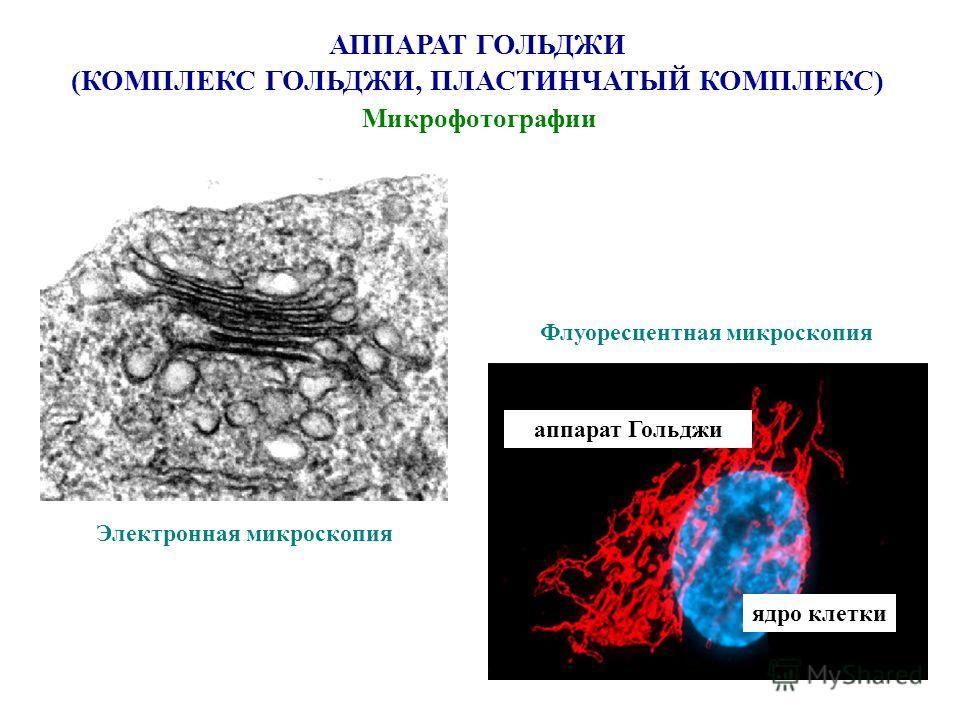 АППАРАТ ГОЛЬДЖИ (КОМПЛЕКС ГОЛЬДЖИ, ПЛАСТИНЧАТЫЙ КОМПЛЕКС) Микрофотографии Электронная микроскопия Флуоресцентная микроскопия ядро клетки аппарат Гольджи