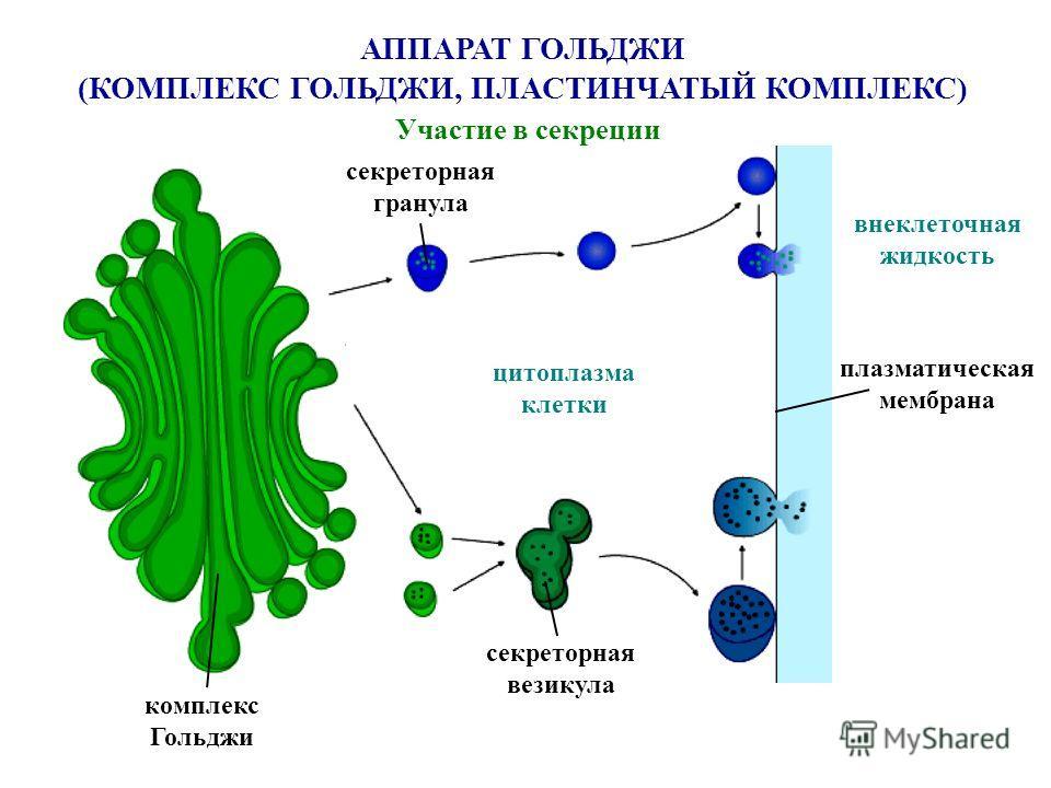 цитоплазма клетки плазматическая мембрана внеклеточная жидкость комплекс Гольджи секреторная гранула секреторная везикула АППАРАТ ГОЛЬДЖИ (КОМПЛЕКС ГОЛЬДЖИ, ПЛАСТИНЧАТЫЙ КОМПЛЕКС) Участие в секреции