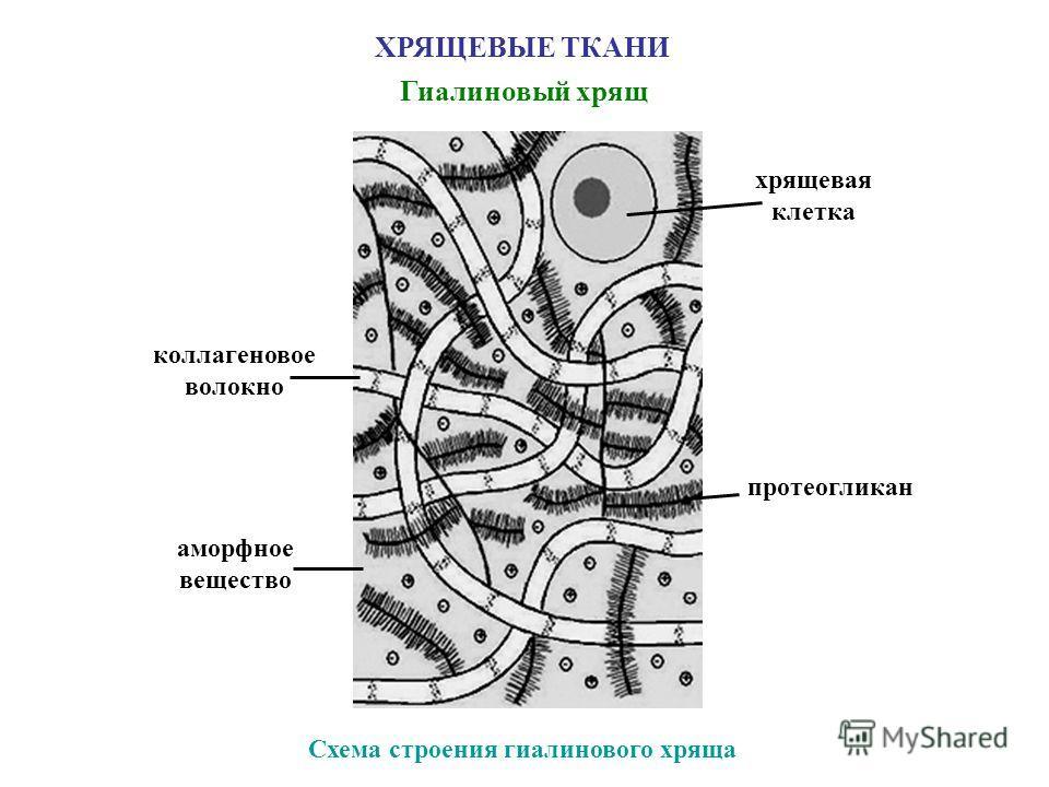 ХРЯЩЕВЫЕ ТКАНИ Гиалиновый хрящ Схема строения гиалинового хряща коллагеновое волокно хрящевая клетка протеогликан аморфное вещество