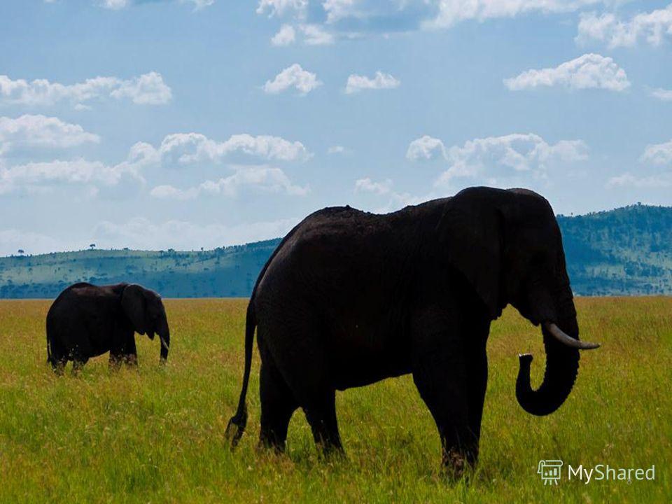 FokinaLida.75@mail.ru Живые барометры. Снегирь под окном з__мой чирикает – к оттепели. Ласточки летают ни__ко над землёй – к непогоде. Сом перед гр__зой поднимается к поверхности р__ки. В Африке о погоде узнают по поведению слонов. Перед дождем эти г