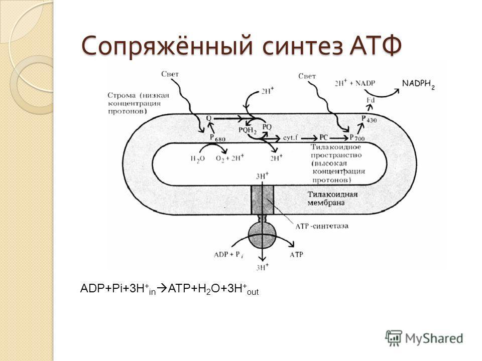 Сопряжённый синтез АТФ ADP+Pi+3H + in ATP+H 2 O+3H + out