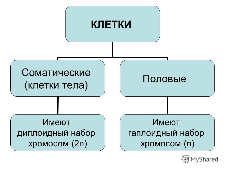 КЛЕТКИ Соматические (клетки тела) Имеют диплоидный набор хромосом (2n) Половые Имеют гаплоидный набор хромосом (n)