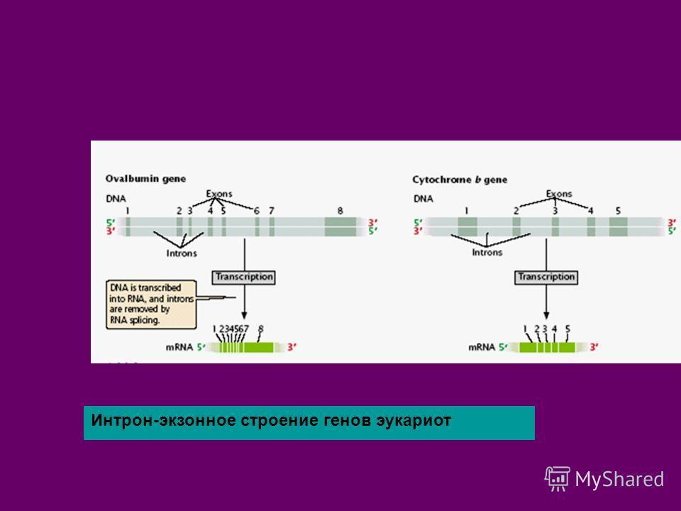 Интрон-экзонное строение генов эукариот