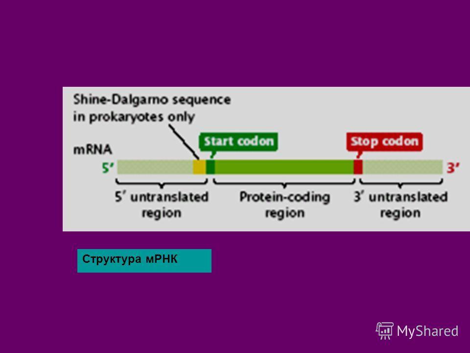 Структура мРНК