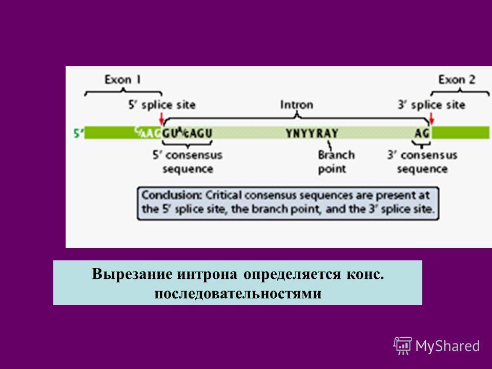 Вырезание интрона определяется конс. последовательностями