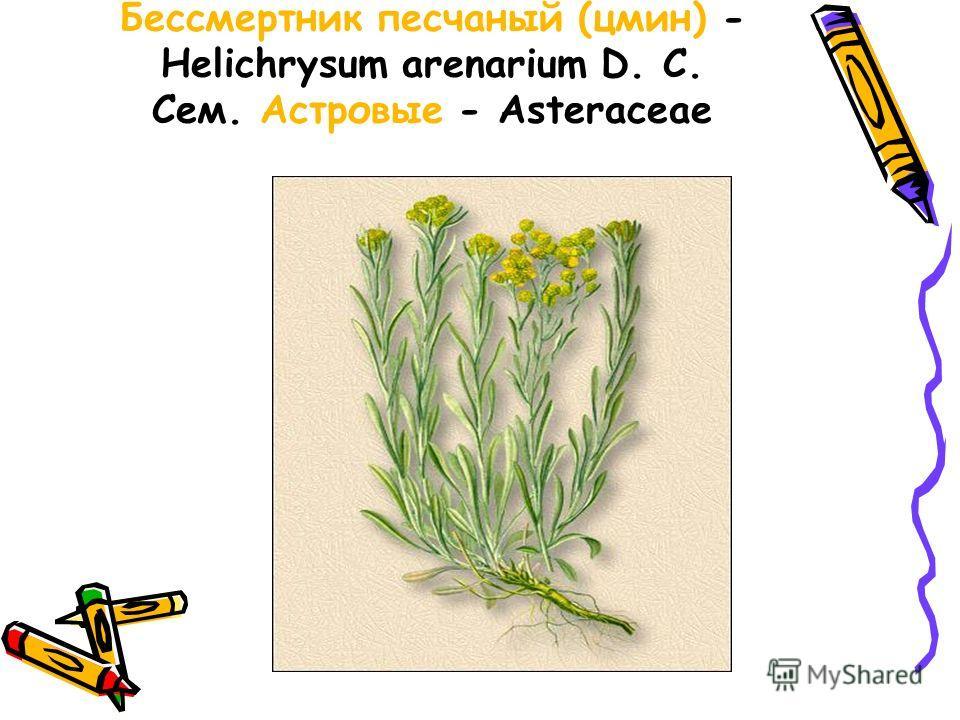 Бессмертник песчаный (цмин) - Helichrysum arenarium D. С. Сем. Астровые - Asteraceae