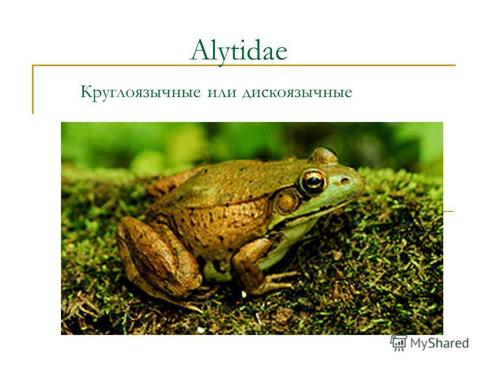 Alytidae Круглоязычные или дискоязычные