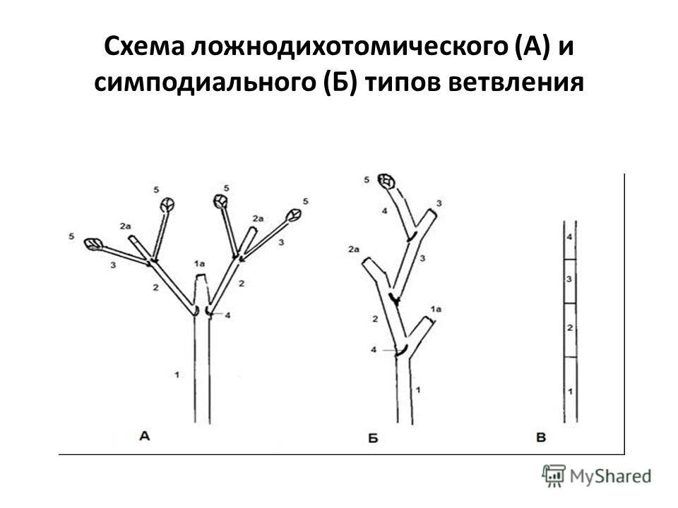 Схема ложнодихотомического (А) и симподиального (Б) типов ветвления