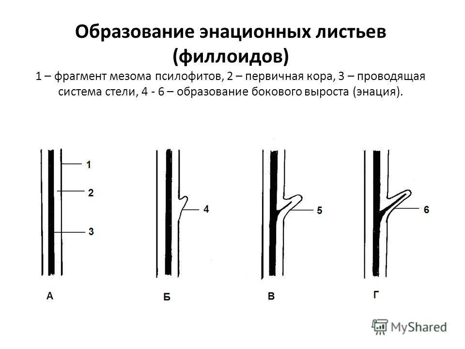 Образование энационных листьев (филлоидов) 1 – фрагмент мезома псилофитов, 2 – первичная кора, 3 – проводящая система стели, 4 - 6 – образование бокового выроста (энация).