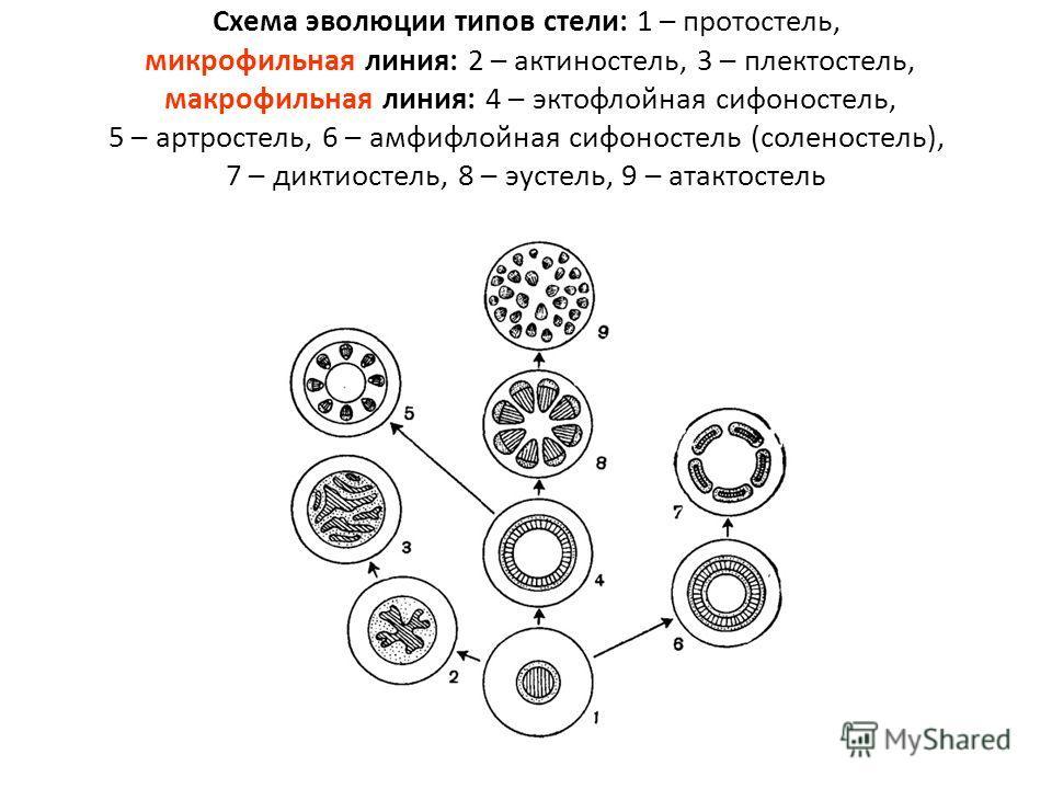 Схема эволюции типов стели: 1 – протостель, микрофильная линия: 2 – актиностель, 3 – плектостель, макрофильная линия: 4 – эктофлойная сифоностель, 5 – артростель, 6 – амфифлойная сифоностель (соленостель), 7 – диктиостель, 8 – эустель, 9 – атактостел
