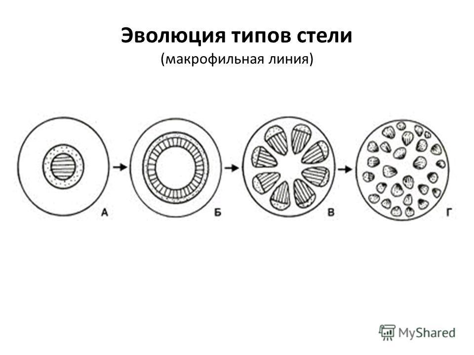 Эволюция типов стели (макрофильная линия)