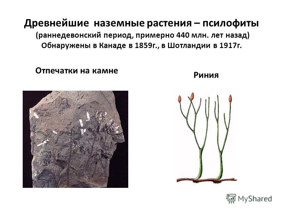 Древнейшие наземные растения – псилофиты (раннедевонский период, примерно 440 млн. лет назад) Обнаружены в Канаде в 1859г., в Шотландии в 1917г. Отпечатки на камне Риния