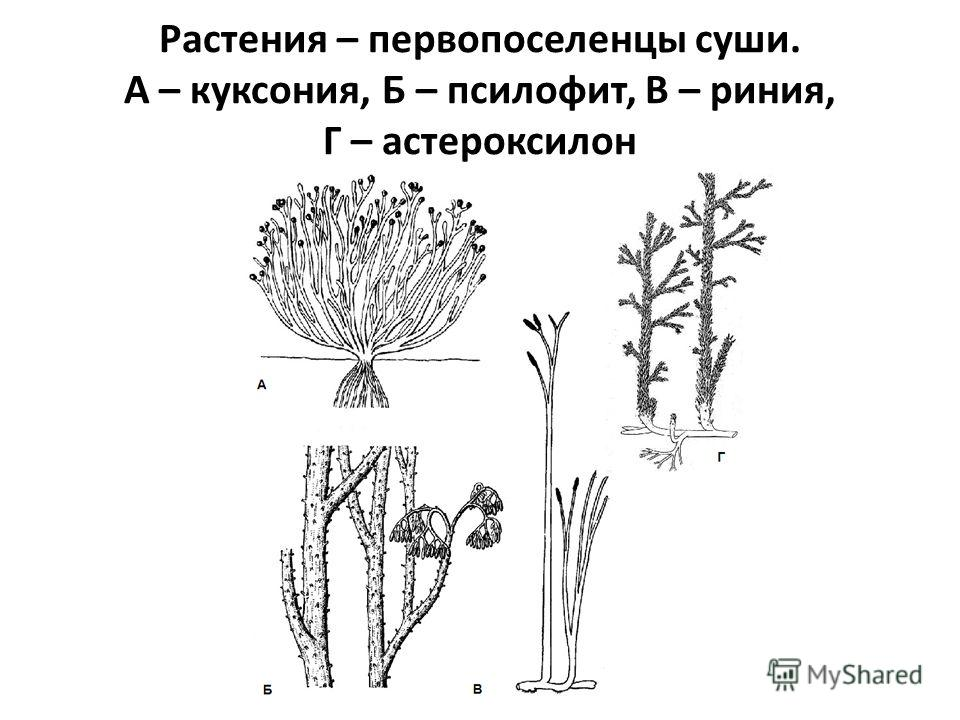 Растения – первопоселенцы суши. А – куксония, Б – псилофит, В – риния, Г – астероксилон
