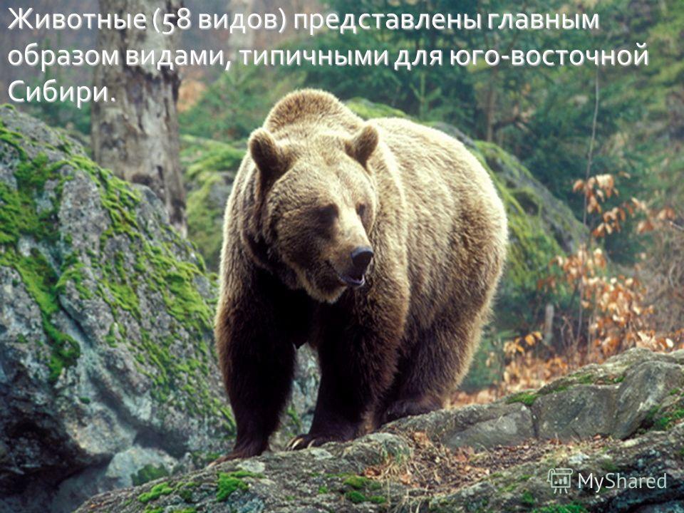 Животные (58 видов ) представлены главным образом видами, типичными для юго - восточной Сибири.