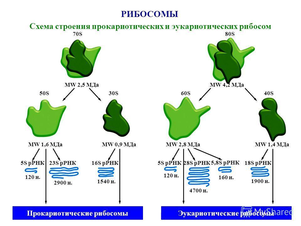 РИБОСОМЫ Схема строения прокариотических и эукариотических рибосом 70S80S80S MW 2,5 МДаMW 4,2 МДа 50S30S 60S 40S40S MW 1,6 МДаMW 0,9 МДаMW 2,8 МДа MW 1,4 МДа 5S рРНК18S рРНК 5,8S рРНК 28S рРНК5S рРНК16S рРНК23S рРНК 120 н. 2900 н. 1540 н. 120 н. 4700
