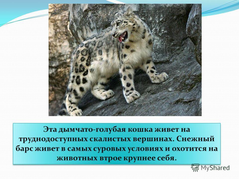 Эта дымчато-голубая кошка живет на труднодоступных скалистых вершинах. Снежный барс живет в самых суровых условиях и охотится на животных втрое крупнее себя.