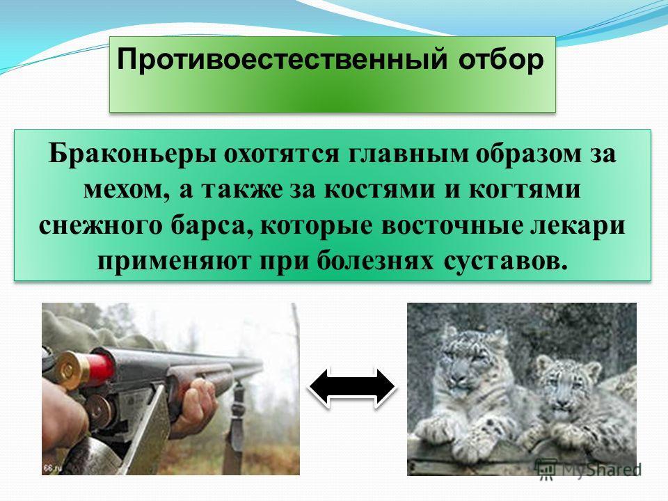 Противоестественный отбор Браконьеры охотятся главным образом за мехом, а также за костями и когтями снежного барса, которые восточные лекари применяют при болезнях суставов.