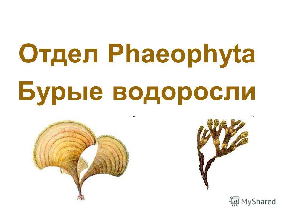 Отдел Phaeophyta Бурые водоросли