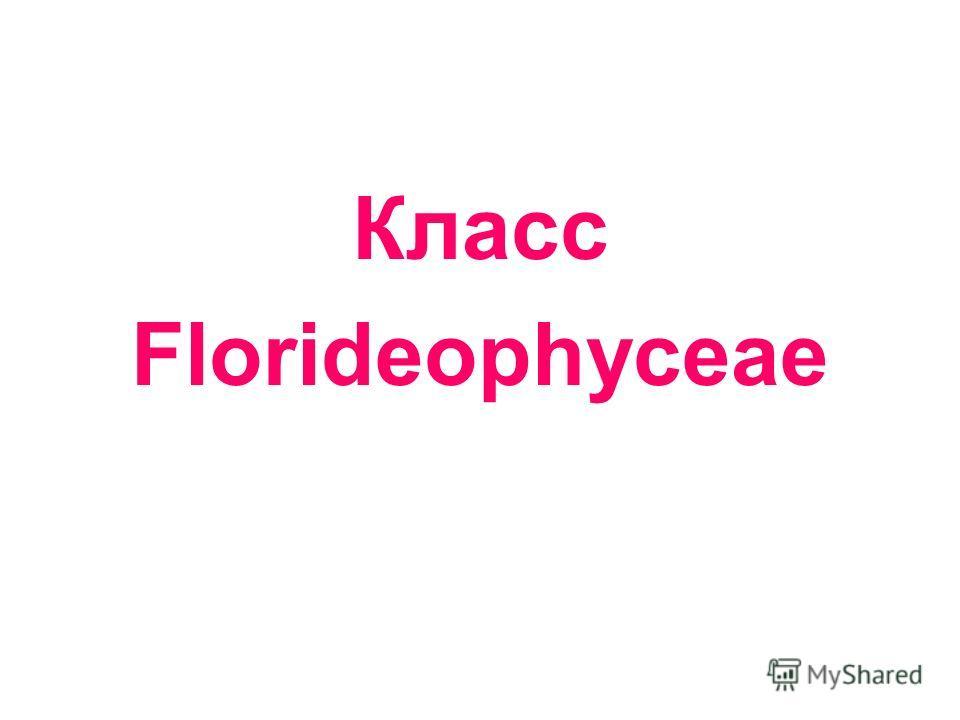 Класс Florideophyceae