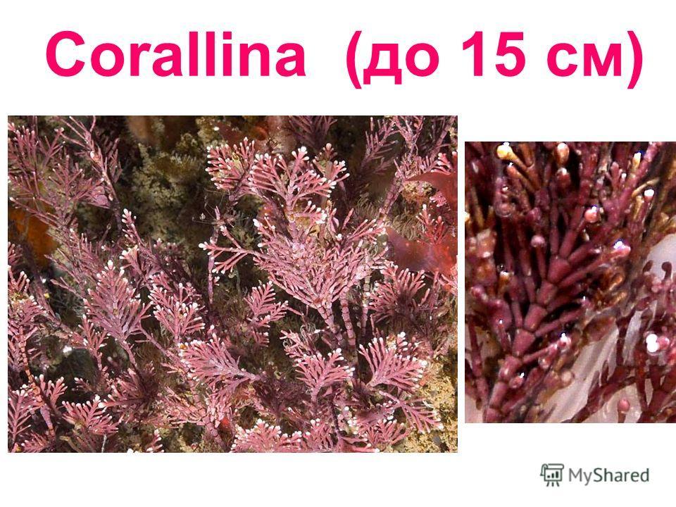 Corallina (до 15 см)