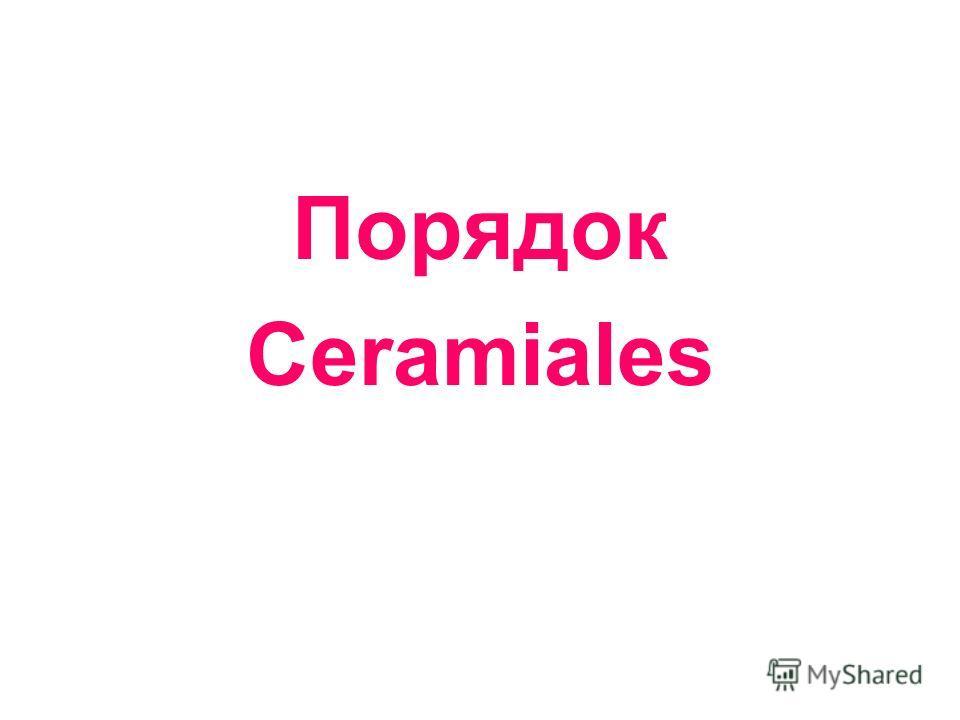 Порядок Ceramiales