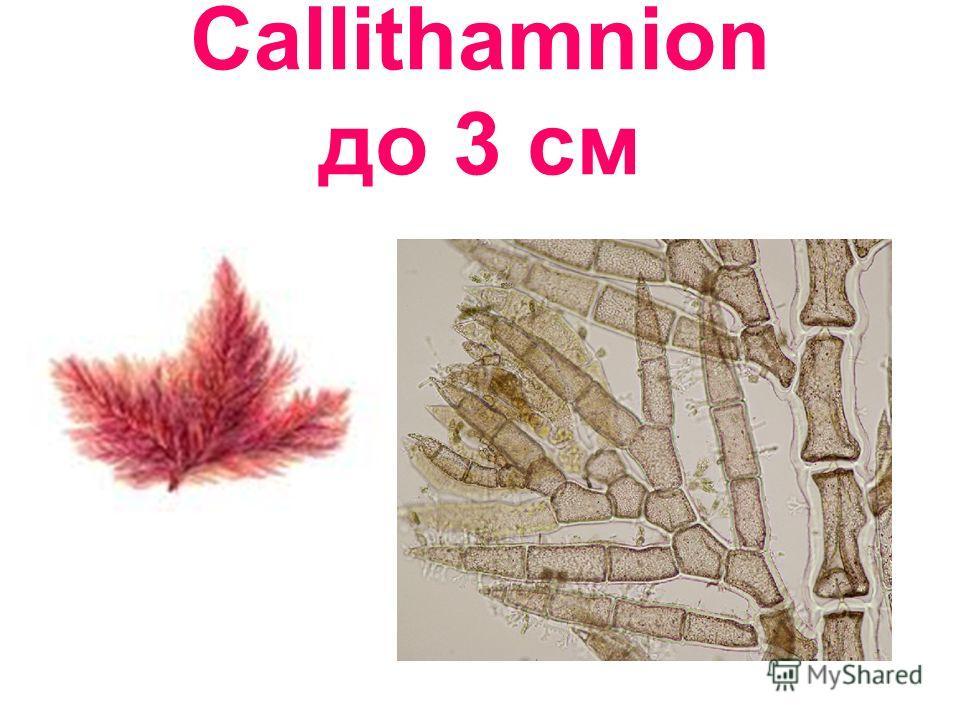 Callithamnion до 3 см