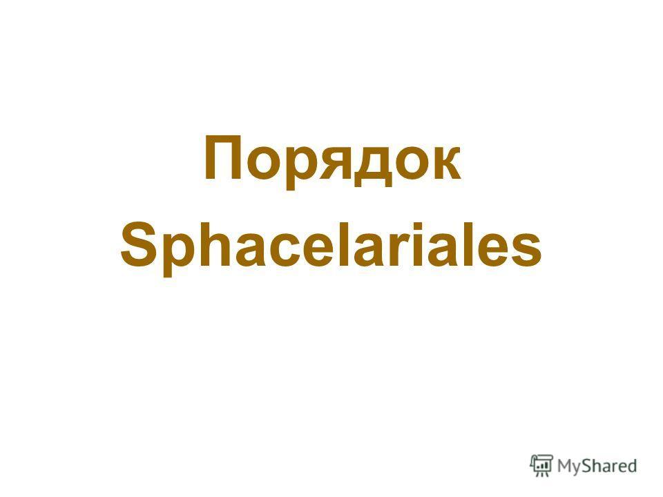 Порядок Sphacelariales