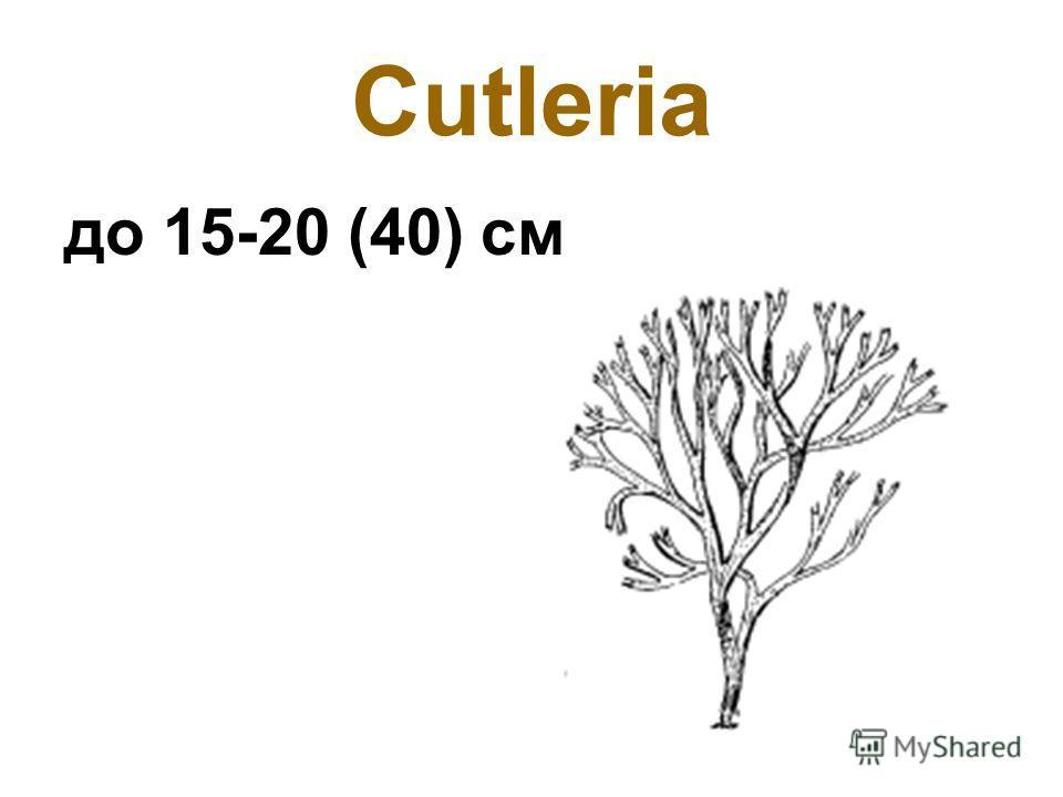 Сutleria до 15-20 (40) см