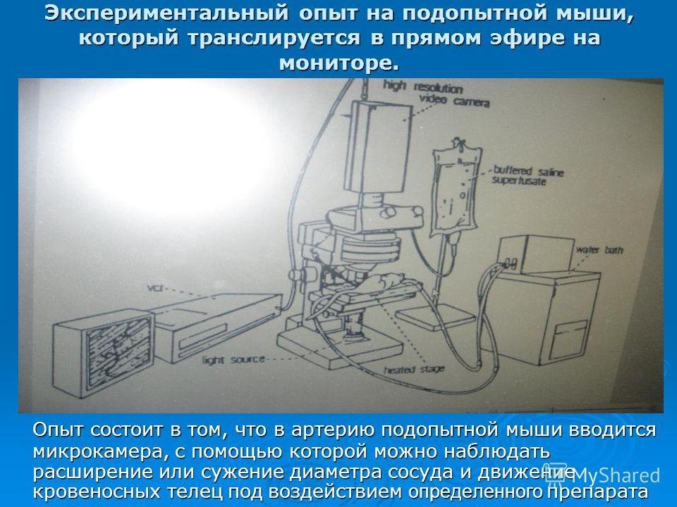Экспериментальный опыт на подопытной мыши, который транслируется в прямом эфире на мониторе. Опыт состоит в том, что в артерию подопытной мыши вводится микрокамера, с помощью которой можно наблюдать расширение или сужение диаметра сосуда и движение к
