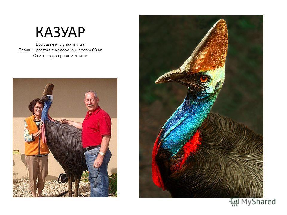 КАЗУАР Большая и глупая птица Самки – ростом с человека и весом 60 кг Самцы в два раза меньше