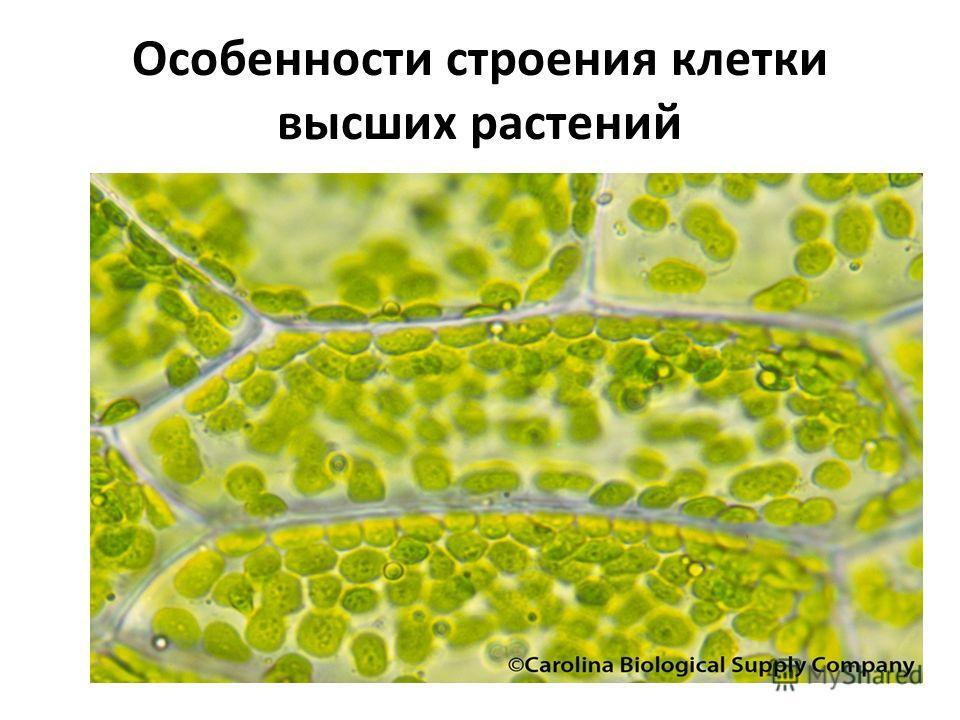 Особенности строения клетки высших растений