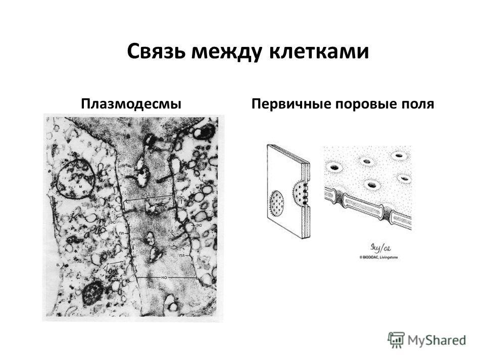 Связь между клетками ПлазмодесмыПервичные поровые поля