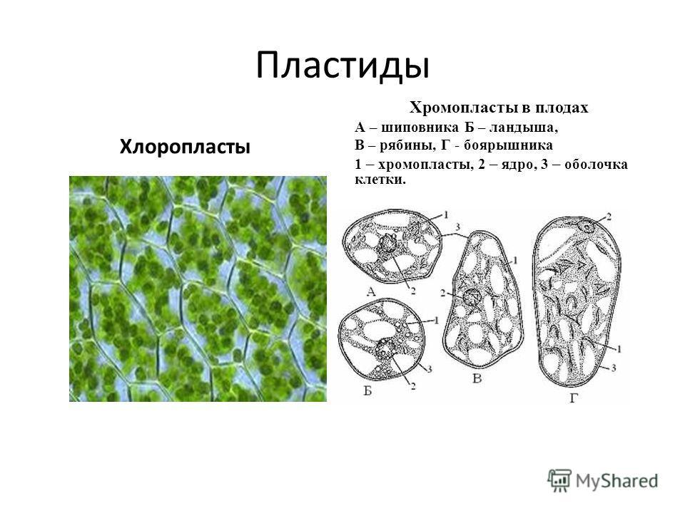 Пластиды Хлоропласты Хромопласты в плодах А – шиповника Б – ландыша, В – рябины, Г - боярышника 1 – хромопласты, 2 – ядро, 3 – оболочка клетки.