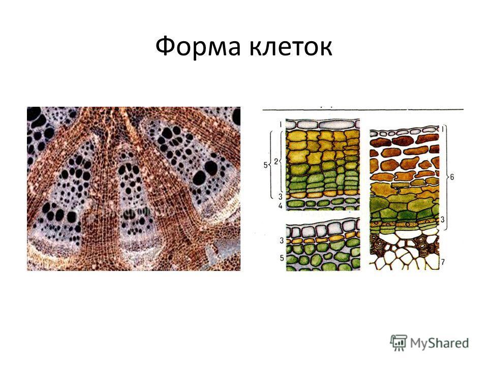 Форма клеток