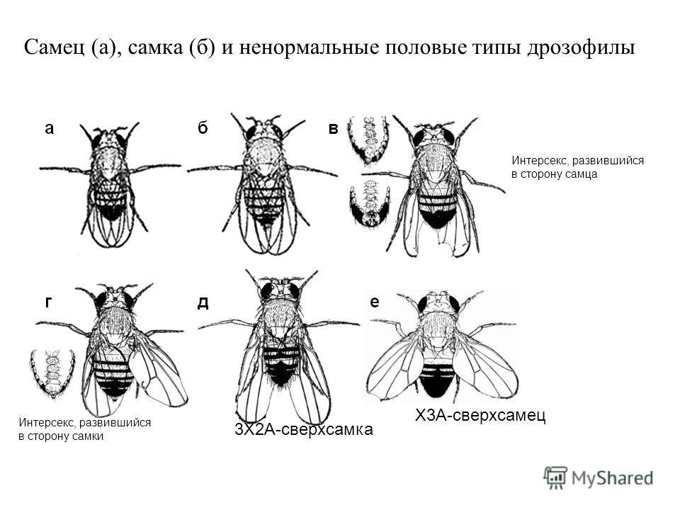 Самец (а), самка (б) и ненормальные половые типы дрозофилы 3X2A-сверхсамка X3A-сверхсамец Интерсекс, развившийся в сторону самца Интерсекс, развившийся в сторону самки