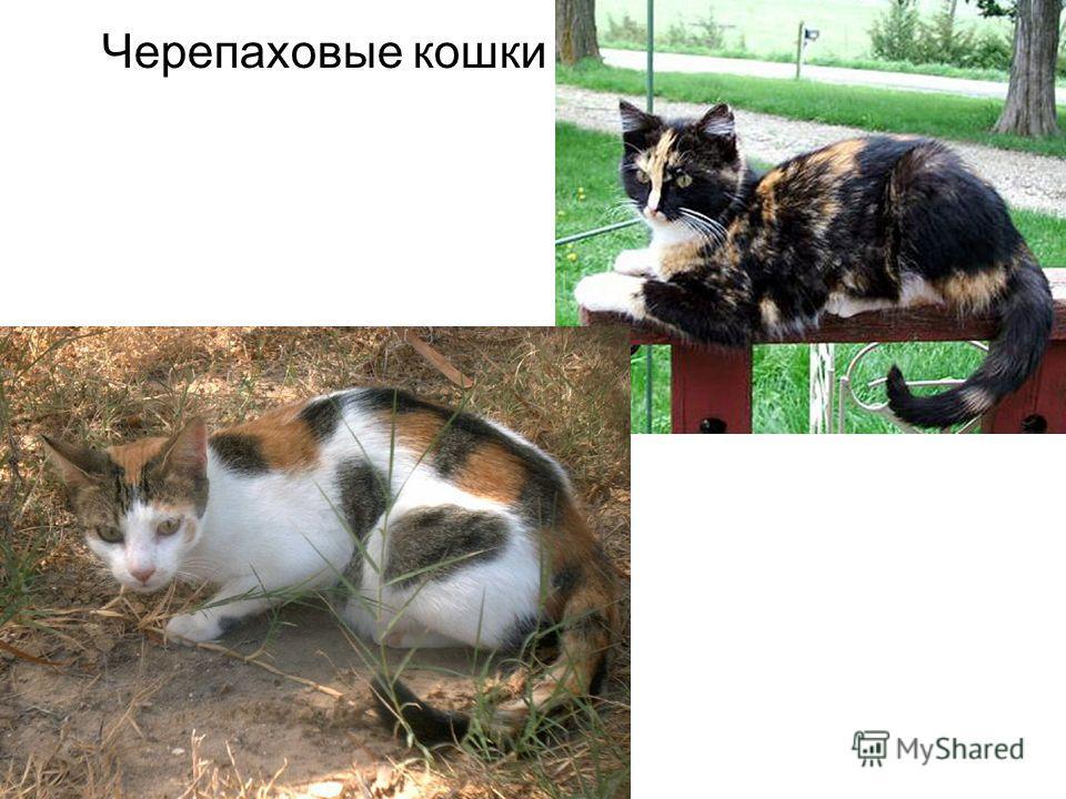 Черепаховые кошки