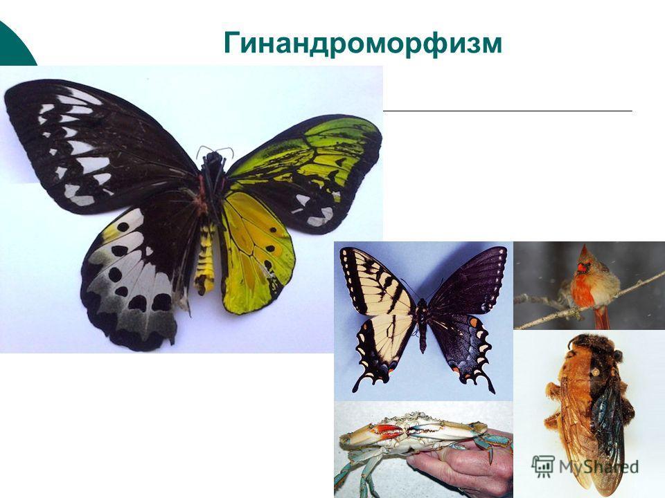 Гинандроморфизм