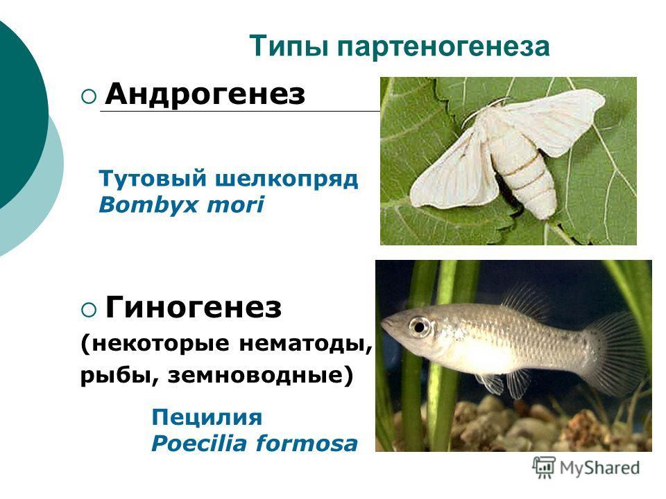 Типы партеногенеза Андрогенез Гиногенез (некоторые нематоды, рыбы, земноводные) Тутовый шелкопряд Bombyx mori Пецилия Poecilia formosa