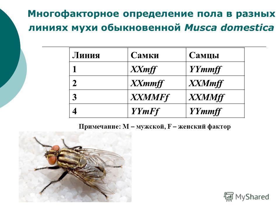 Многофакторное определение пола в разных линиях мухи обыкновенной Musca domestica ЛинияСамкиСамцы 1XXmffYYmmff 2XXmmffXXMmff 3XXMMFfXXMMff 4YYmFfYYmmff Примечание: М – мужской, F – женский фактор