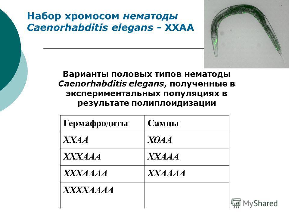 Набор хромосом нематоды Caenorhabditis elegans - XXAA ГермафродитыСамцы ХХААХОАА ХХХАААХХААА ХХХААААХХАААА ХХХХАААА Варианты половых типов нематоды Caenorhabditis elegans, полученные в экспериментальных популяциях в результате полиплоидизации