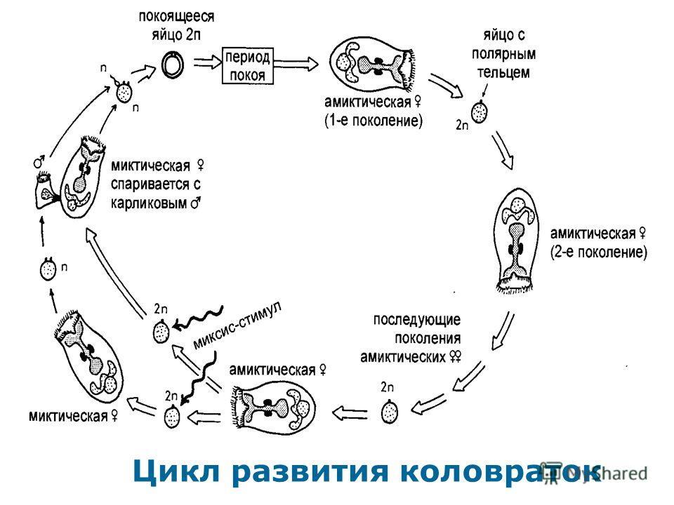 Цикл развития коловраток