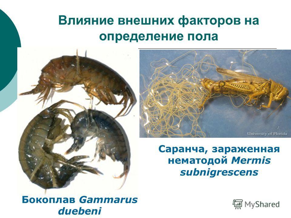 Влияние внешних факторов на определение пола Бокоплав Gammarus duebeni Саранча, зараженная нематодой Mermis subnigrescens