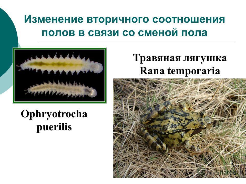 Изменение вторичного соотношения полов в связи со сменой пола Ophryotrocha puerilis Травяная лягушка Rana temporaria
