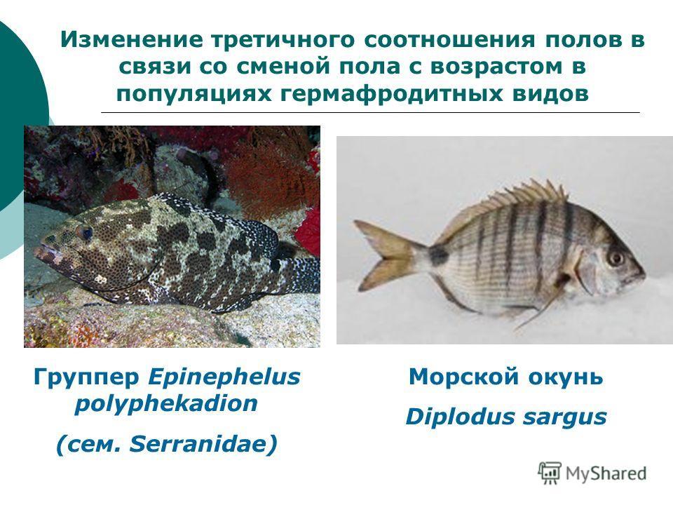 Изменение третичного соотношения полов в связи со сменой пола с возрастом в популяциях гермафродитных видов Группер Epinephelus polyphekadion (сем. Serranidae) Морской окунь Diplodus sargus